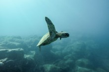 sea turtle, ocean, sea animals, ocean wildlife